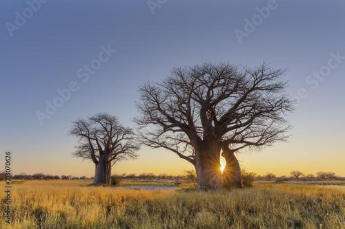 Foto Spatwand Baobab Sun starburst at sunrise in baobab tree