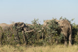Elephants on Kruger NP, South Africa - 213076672