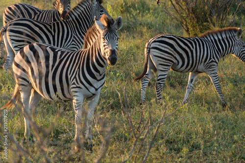 Fototapeta Zebras on Kruger NP, South Africa