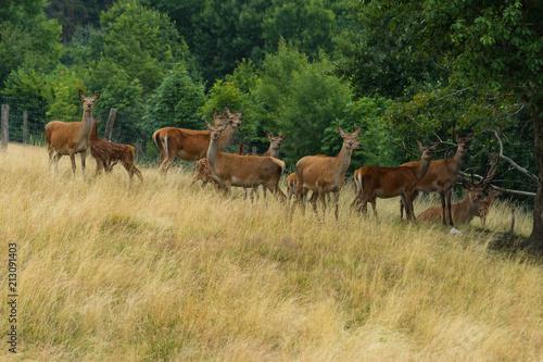Fotobehang Paarden Damwild