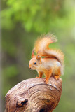 The red squirrel or Eurasian red sguirrel (Sciurus vulgaris) sitting in the scandinavian forest. Squirrel in a typical environment. Sqirrrel with nut. - 213095833