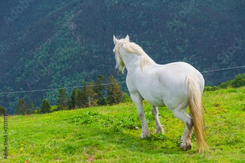 Fototapeta white horse in the alps