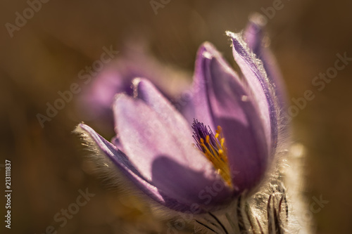 Amazing close up macro photo of delicate violet spring flower. Beautiful natural creation.