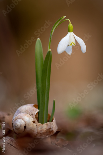 Fototapeta Snowflake flower growing from a shell. Fragile yet beautiful symbol of spring. Snowdrop flower. Macro photo. Nature, flora, floral, plant, blossom. Spring, symbol, season.