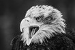 Close up photo of Eagle. Amazing bird. Bird of prey. Predator. Dangerous and endangered.