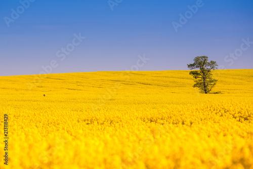 Fotobehang Meloen Yellow rapeseed field