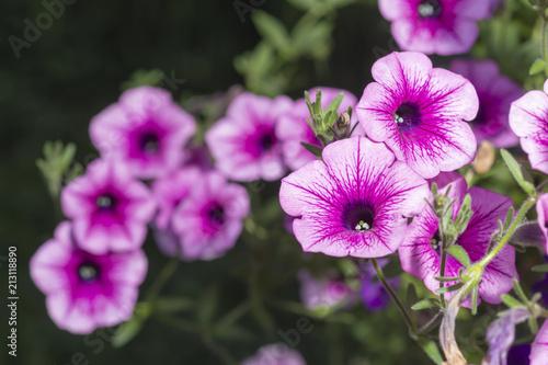 Fioletowo-białe grona kwiatowe petunii