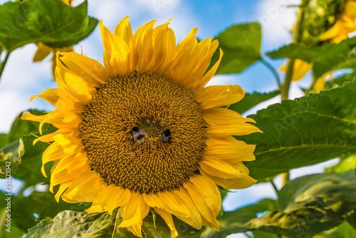Poster Bienen beim Bestäuben einer Sonnenblume