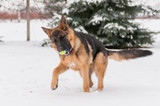A german shepherd puppy dog playing with a ball at winter