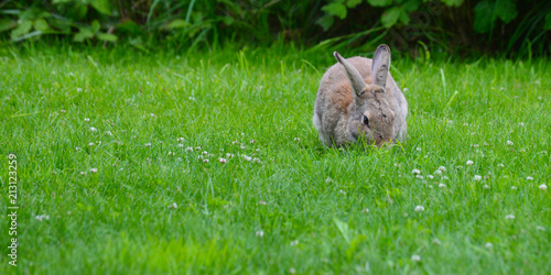 Plakat Cottontail Rabbit Munches Grass, Olympic Peninsula, Washington, USA