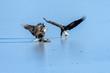 Bald Eagles (Haliaeetus leucocephalus) fighting for salmon on the frozen Fraser River