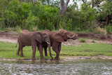Two Elephant by the river