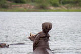 Hippo with in water
