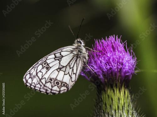 Wild Butterfly Macro in Summer Germany