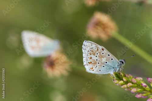 Wild Butterfly Macro in Summer Germany - 213131063