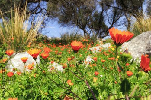 Poster sizilianische Frühlingsblumen