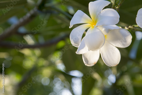 Plexiglas Plumeria White plumeria flowers on a beautiful tree. And space to type in the text.