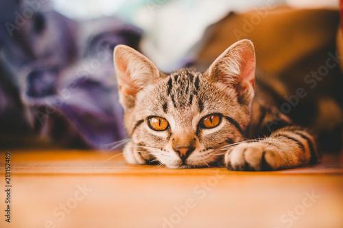 Kitten Tabby Relaxing