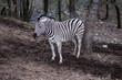 Zebra alone in a forest
