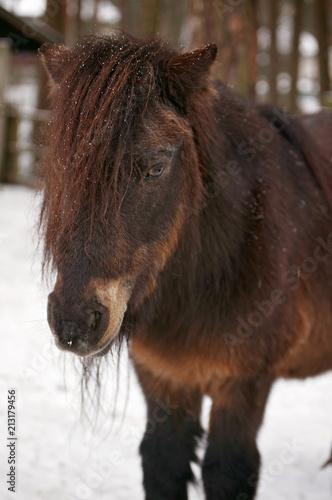 Fotobehang Paarden Portrait of Shetland Pony at the snowy farm