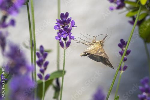 Poster Gammaeule auf Nektarsuche an Lavendel