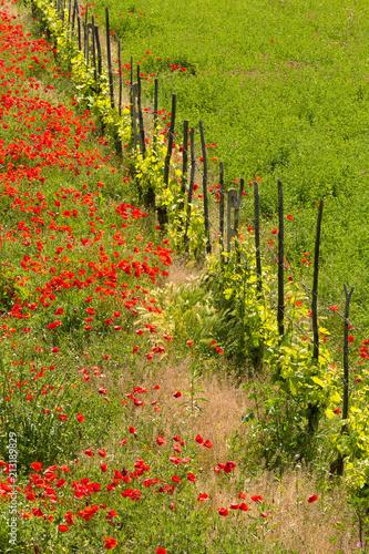 Fototapeta Poppies and grass