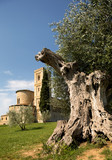 Old olive tree and San Altimo Abbey - 213190011