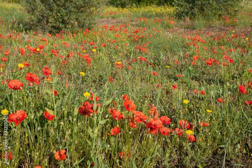 Fototapeta Poppies