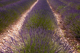 Rows of lavender - 213190625