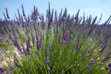 Bunch of lavender - 213190652