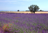 Lavender and wheat - 213190878