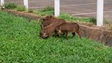 Group of young Warthogs eating grass beside a parking lot - 213191261