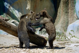 Two children of brown bear are playing at the zoo near a wooden log - 213194894