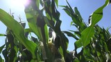 Sunlight is shining through corn crop leaves in cultivated field - 213197071