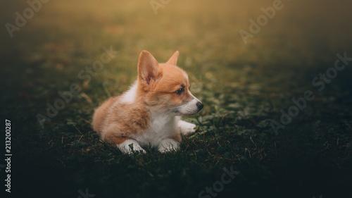 Fototapeta Funny Welsh Corgi Cardigan Puppy at forest