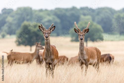 Deer - 213213468