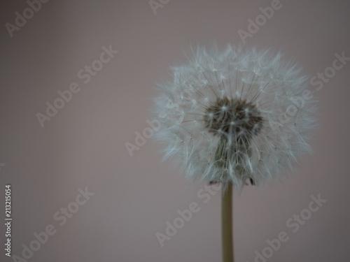 Aluminium Paardenbloemen macro