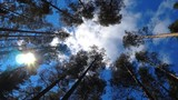 View from bottom up at  pine trees with blue sky and clouds. Slow spin while looking - 213217627