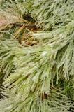 Icy Pine needles - 213219064