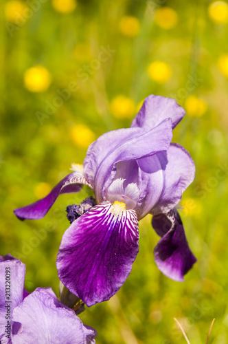 Fotobehang Iris Purple and lavender iris