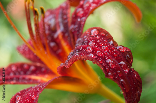 closeup of rain drops of red lily in the garden - 213223839