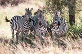 Zebras - 213224447