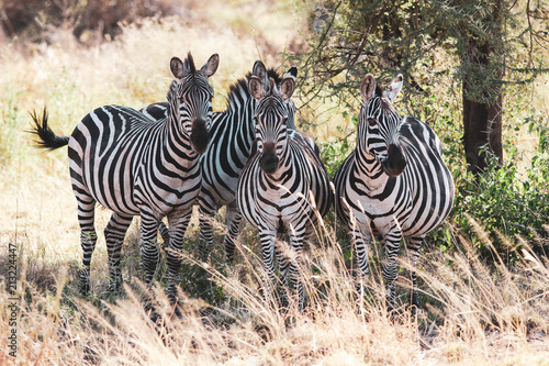 Fototapeta Zebras
