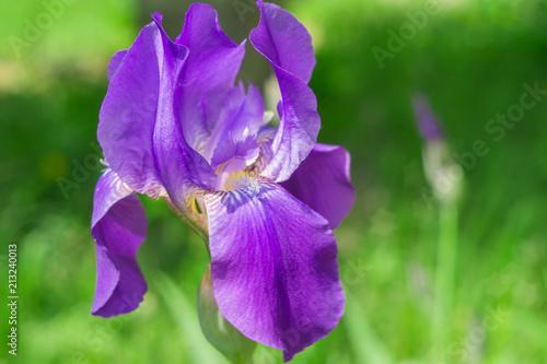 Fotobehang Iris irises flowers in the garden