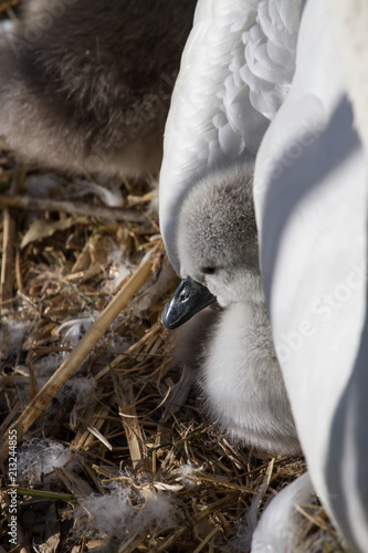 Fotobehang Zwaan photo of a Mute swan signet under it's mothers wing