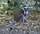 lemur en madagascar - 213248821