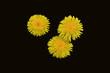 +three dandelions