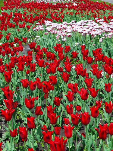Fotobehang Rood traf. White tulips surrounded by bright red tulips