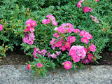 bushes of roses with bright crimson colors - 213255414