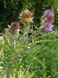 unpretentious grayish but very pristavuchy and clinging to all burdock - 213260014